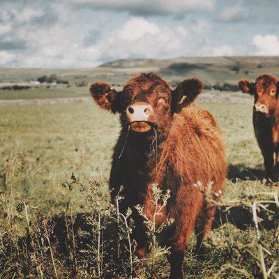 Herd community
